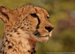 Cheetah 2014-1copyright-photographers-on-safari-com