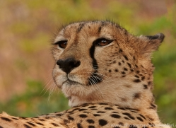 Cheetah 2014-2copyright-photographers-on-safari-com