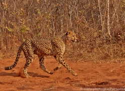 Cheetah 2014-3copyright-photographers-on-safari-com