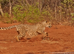 Cheetah 2014-5copyright-photographers-on-safari-com