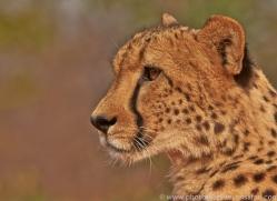 Cheetah 2014-6copyright-photographers-on-safari-com
