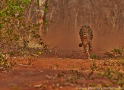 Cheetah 2014-7copyright-photographers-on-safari-com