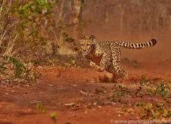 Cheetah 2014-8copyright-photographers-on-safari-com