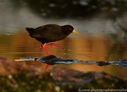 Crake 2014-1copyright-photographers-on-safari-com