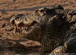 Crocodile 2014-1copyright-photographers-on-safari-com