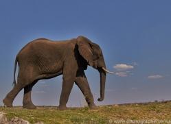 Elephant 2014-26copyright-photographers-on-safari-com