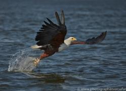 Fish Eagle 2014-2copyright-photographers-on-safari-com