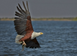 Fish Eagle 2014-3copyright-photographers-on-safari-com