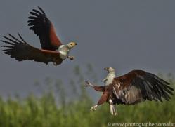 Fish Eagle 2014-4copyright-photographers-on-safari-com