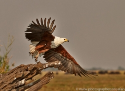 Fish Eagle 2014-5copyright-photographers-on-safari-com