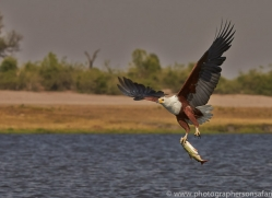 Fish Eagle 2014-6copyright-photographers-on-safari-com