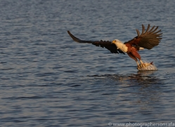 Fish Eagle 2014-8copyright-photographers-on-safari-com