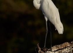 Great Egret 2014-1copyright-photographers-on-safari-com