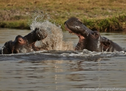Hippopotamus 2014-2copyright-photographers-on-safari-com