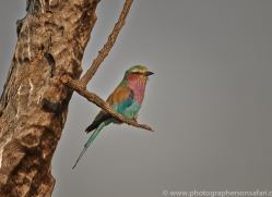 Lilac Breasted Roller 2014-1copyright-photographers-on-safari-com