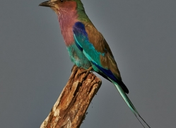 Lilac Breasted Roller 2014-2copyright-photographers-on-safari-com