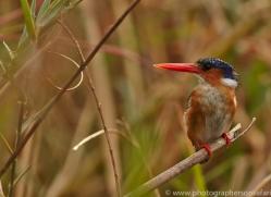 Malachite Kingfisher 2014-1copyright-photographers-on-safari-com