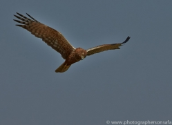 Marsh Harrier 2014-1copyright-photographers-on-safari-com