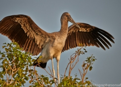 Painted Stork 2014-1copyright-photographers-on-safari-com