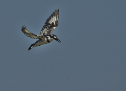 Pied Kingfisher 2014-3copyright-photographers-on-safari-com