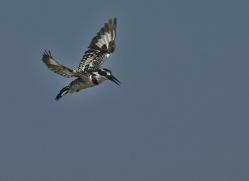 Pied Kingfisher 2014-3copyright-photographers-on-safari-com