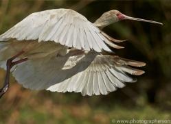 Spoonbill 2014-1copyright-photographers-on-safari-com