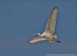 Spoonbill 2014-2copyright-photographers-on-safari-com