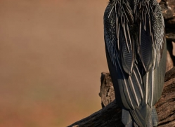 african-darter-4298-botswana-copyright-photographers-on-safari