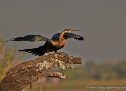 african-darter-4299-botswana-copyright-photographers-on-safari
