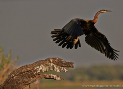 african-darter-4300-botswana-copyright-photographers-on-safari