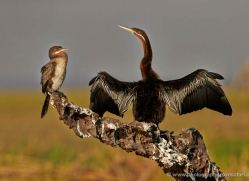 african-darter-4301-botswana-copyright-photographers-on-safari