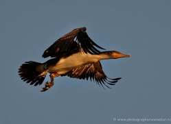 african-darter-4303-botswana-copyright-photographers-on-safari