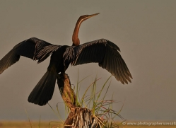 african-darter-4305-botswana-copyright-photographers-on-safari
