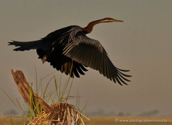 african-darter-4306-botswana-copyright-photographers-on-safari