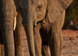 african-elephant-4451-botswana-copyright-photographers-on-safari