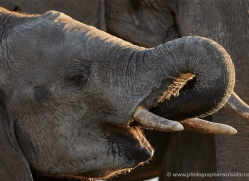 african-elephant-4452-botswana-copyright-photographers-on-safari