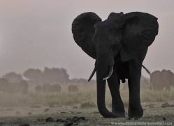 african-elephant-4455-botswana-copyright-photographers-on-safari