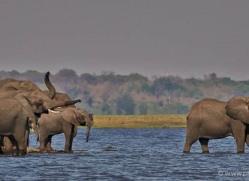african-elephant-4456-botswana-copyright-photographers-on-safari