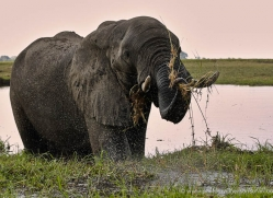 african-elephant-4458-botswana-copyright-photographers-on-safari