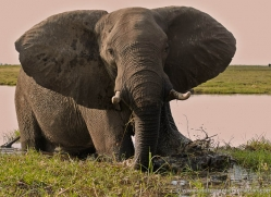 african-elephant-4460-botswana-copyright-photographers-on-safari