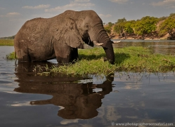 african-elephant-4462-botswana-copyright-photographers-on-safari