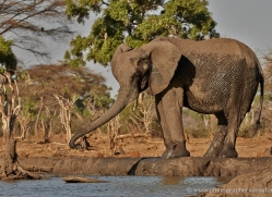 african-elephant-4463-botswana-copyright-photographers-on-safari