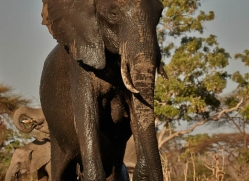 african-elephant-4465-botswana-copyright-photographers-on-safari