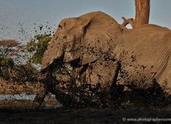 african-elephant-4466-botswana-copyright-photographers-on-safari
