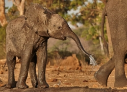 african-elephant-4468-botswana-copyright-photographers-on-safari