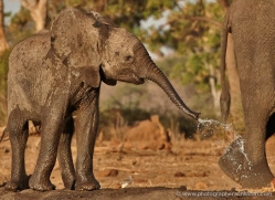 african-elephant-4469-botswana-copyright-photographers-on-safari