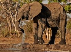 african-elephant-4470-botswana-copyright-photographers-on-safari