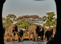 african-elephant-4474-botswana-copyright-photographers-on-safari