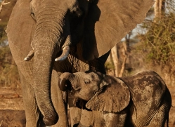 african-elephant-4475-botswana-copyright-photographers-on-safari