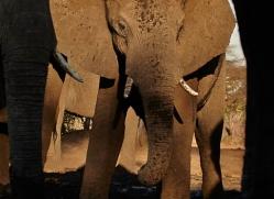 african-elephant-4476-botswana-copyright-photographers-on-safari